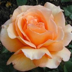 Trandafir teahibrid Doris Tysterman