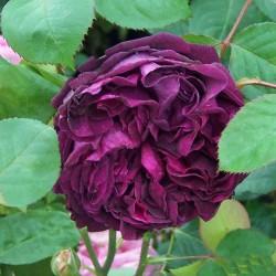 Trandafir englezesc Falstaff