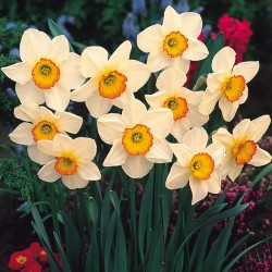 Narcise Flower Record