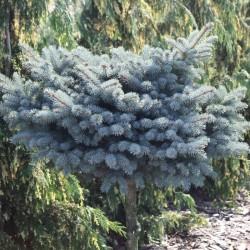 Picea Pungens Glauca Pomisor