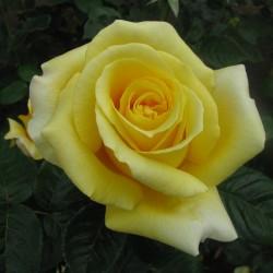 Trandafir teahibrid Glorious