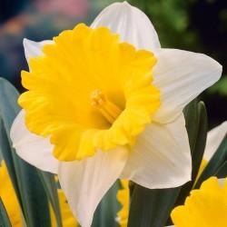 Narcise Goblet