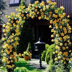 Trandafir cățărător Golden Showers