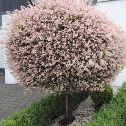 Salix int. HAKURO-NISHIKI