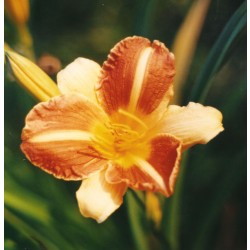 Hemerocallis Cathy Sunset