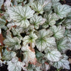 Heucherella Quicksilver
