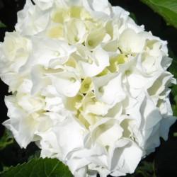 Hortensia macrophylla Doppio Bianco