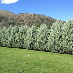 Juniperus Sc. Moonglow
