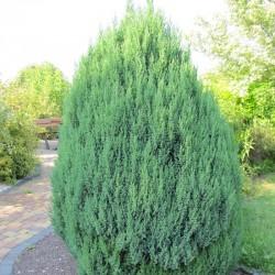 IENUPĂR (Juniperus STRICTA)