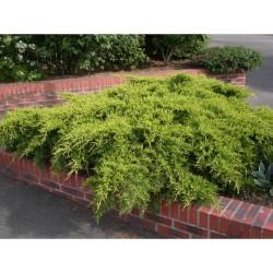 Ienupar tarator (Juniperus x media OLD GOLD)