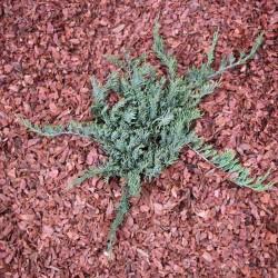 IENUPĂR TÂRÂTOR (Juniperus PROSTRATA)