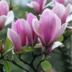 Magnolia soul. Rustica Rubra