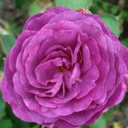 Trandafirde parc Minerva