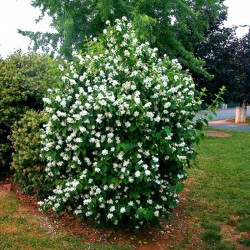 Iasomie cu flori duble (Philadelphus Minesota Snowflake)