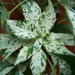 Viţă sălbatică (Parthenocissus STAR SHOWER)