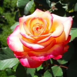 Trandafir pomișor Peace