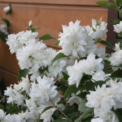 Iasomie cu flori duble (Philadelphus SCHNEESTURM)