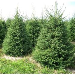 Pachet 20buc. Puiet Molid 30 - 40cm(Picea Abies)
