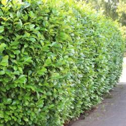 Laur (Prunus laurocerasus)