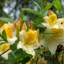 Azalee (Rhododendron)  Toucan