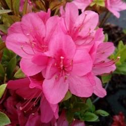 Azalee (Rhododendron) Rubinetta
