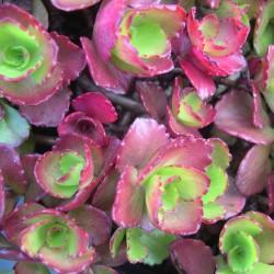 Sedum spurium Ruby Mantle