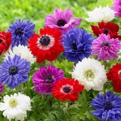 Anemone cu flori duble (St. Brigid)