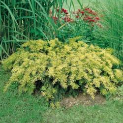 TISĂ (Taxus baccata REPANDENS AUREA)