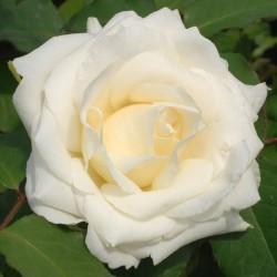 Trandafir teahibrid Virgo