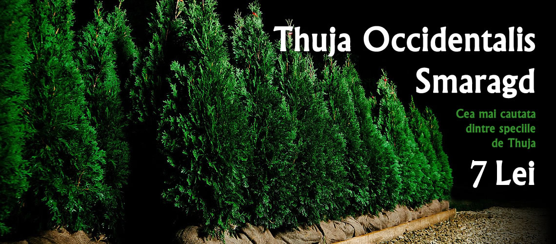 Thuja Occidentalis Smaragd